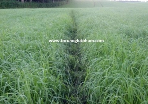 Teff Grass Tohumu Fiyatları